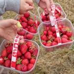 大人も子供も!家族で楽しめる!イギリスでイチゴ狩り!